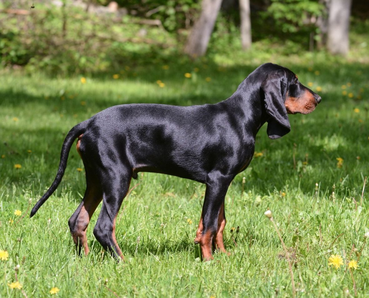 Busting Coonhound Myths: Why These Dogs Make Great House Pets