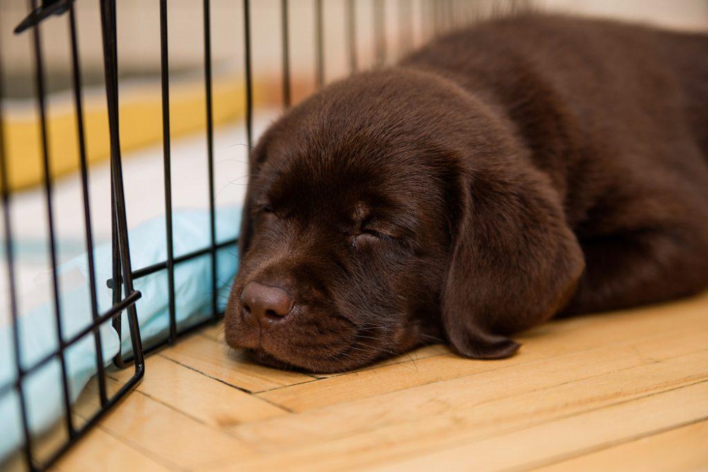 Labrador puppy sleeping inside crate.