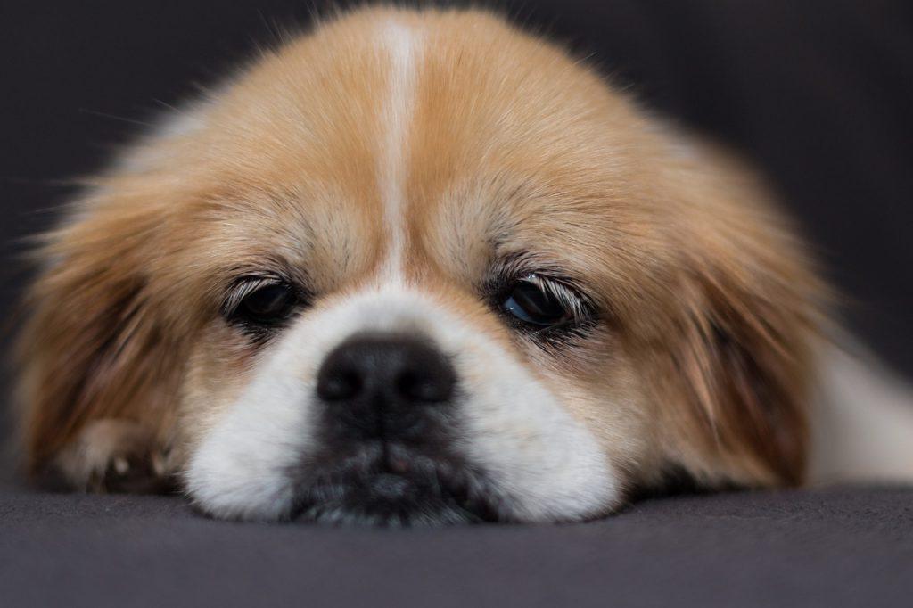 Bored dog.