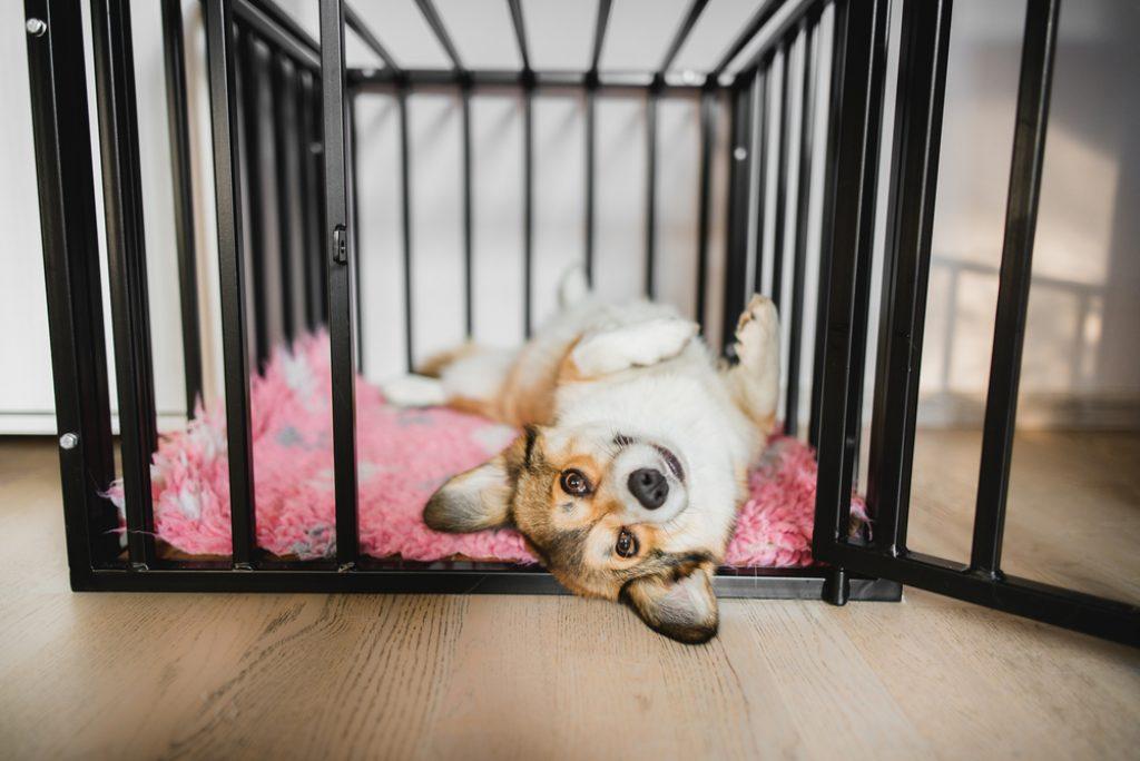 Corgi inside a crate.