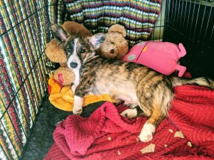 Dog inside crate with toys.