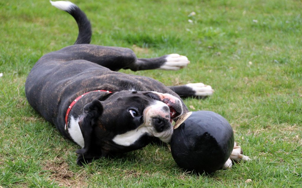 Dog lying down with a ball.