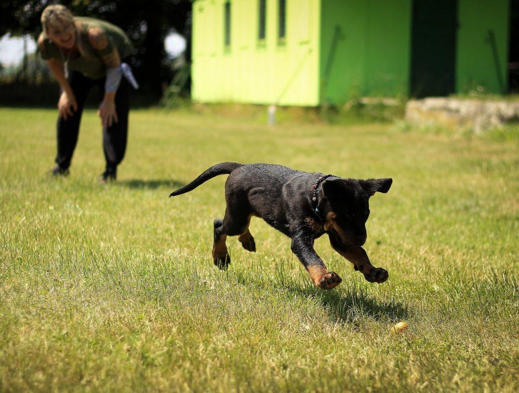 Dog playing fetch.