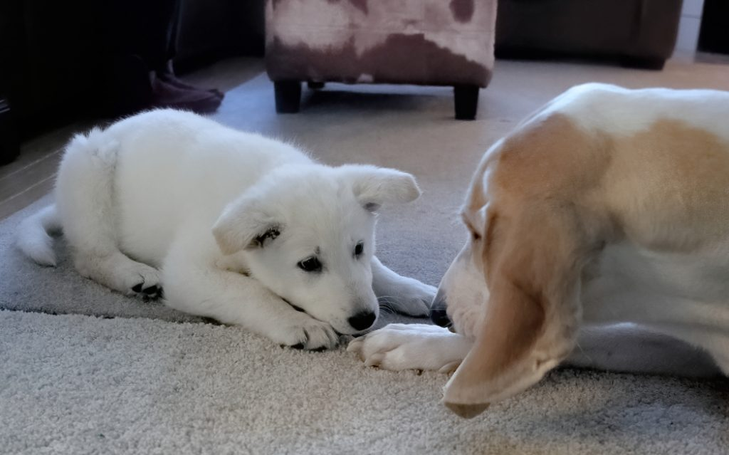 Puppy and older dog.