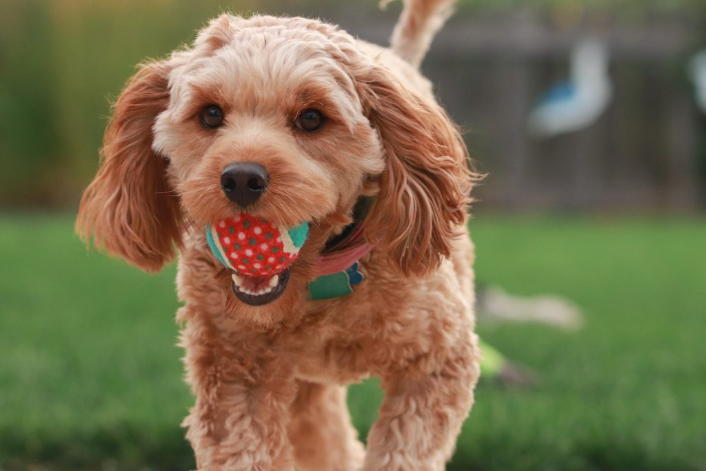 Ball in puppy's mouth.