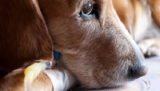 How to treat your dog's Anemia