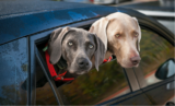 Two Cross-Country Road Trips…with Two Dogs