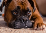 How to treat entropion in dogs