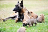 How to manage mammary gland tumors in dogs