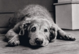 Age affects dogs' brains, too
