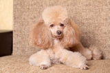 Some Tips About The Poodle Dog