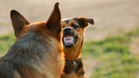 Causes of Canine Aggression – Fear VS Dominance