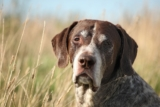 How to treat your dog's viral papillomas (Warts)